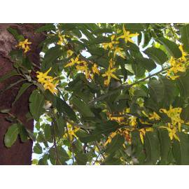 YLANG-YLANG Huile Essentielle